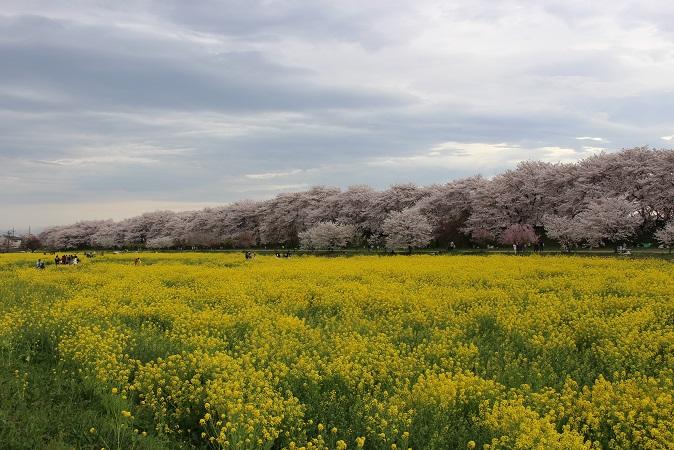 2015-04桜まつり:幸手権現堂 桜と菜の花