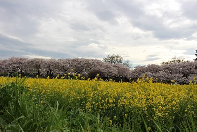 2015-04桜まつり:幸手権現堂 桜と菜の花2