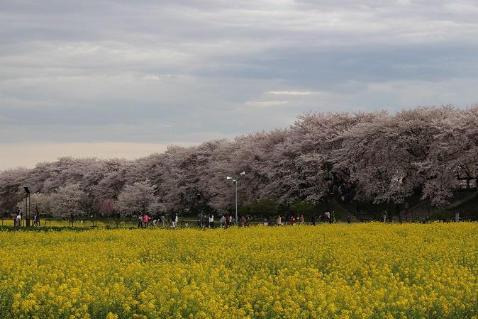 2015-04桜まつり:幸手権現堂 桜と菜の花4
