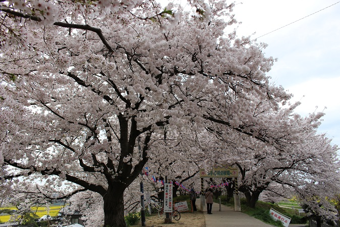 2015-04桜まつり:幸手権現堂