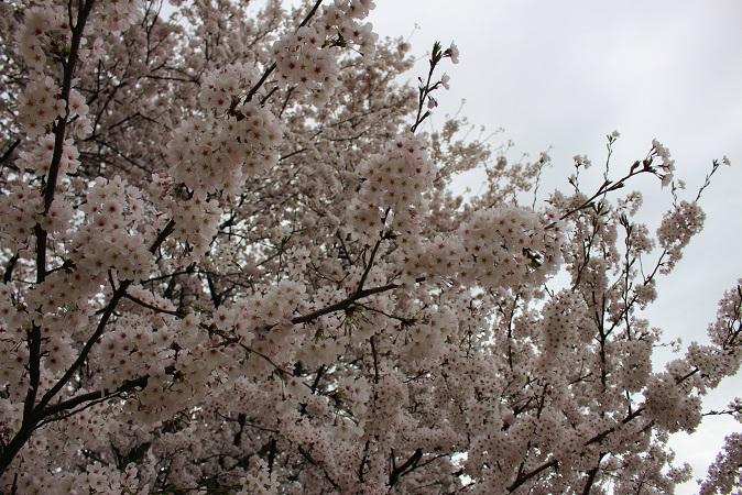 2015-04桜まつり:幸手権現堂 桜