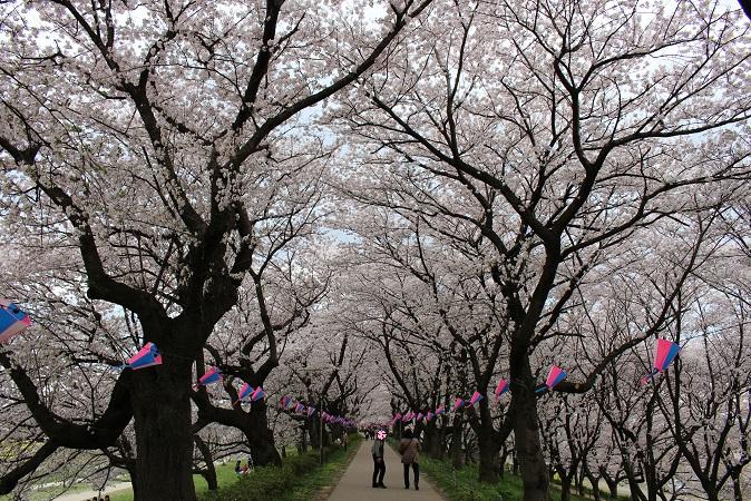 2015-04桜まつり:幸手権現堂 桜2