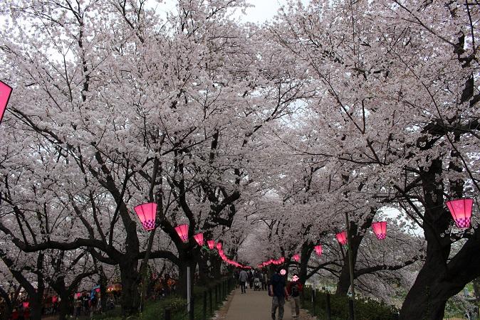 2015-04桜まつり:幸手権現堂 桜6