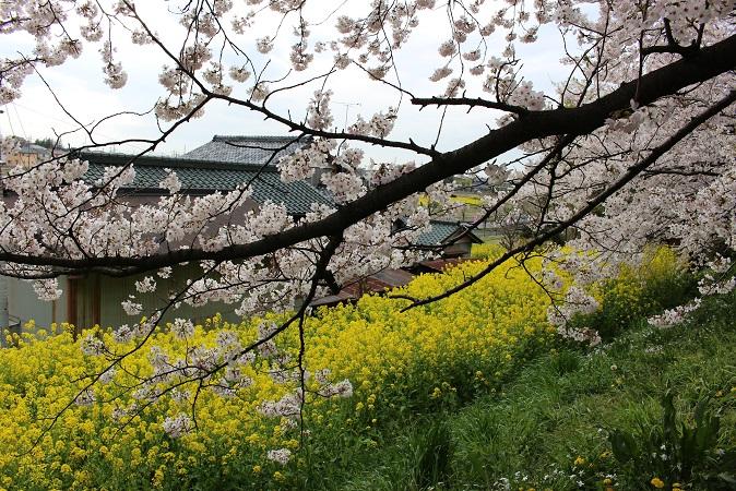 2015-04桜まつり:幸手権現堂 桜と菜の花5