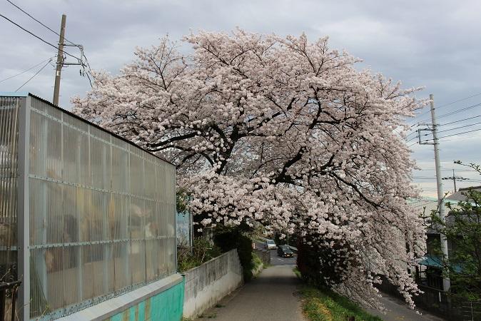 2015-04桜まつり:桜
