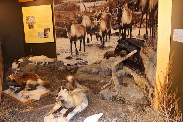 2015カナダ旅行:0212イエローナイフ 観光所 剥製