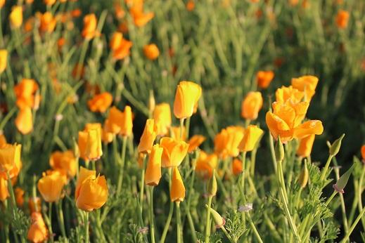 20150522ポピー:カリフォルニアポピー