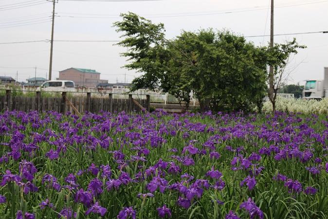 20150530:花菖蒲 紫