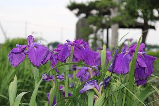 20150530:花菖蒲 紫2