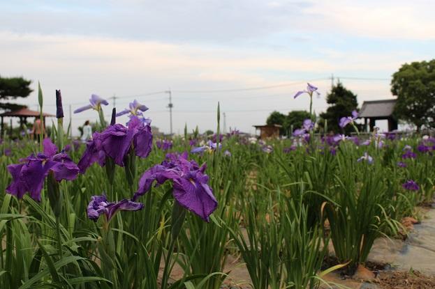 20150530:花菖蒲 紫3