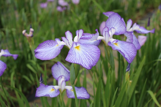 20150530:花菖蒲 薄紫