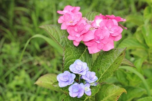 20150609あじさいまつり:紫陽花 ピンク 青