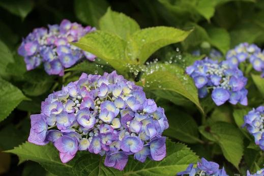 20150609あじさいまつり:紫陽花 青 水滴 くもの巣