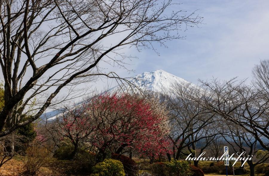 富士桜公園2