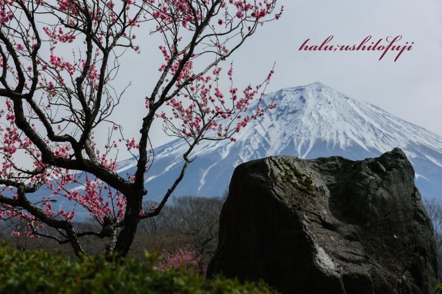 桜富士公園s
