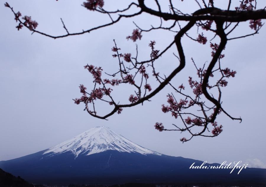 河口湖桜 2