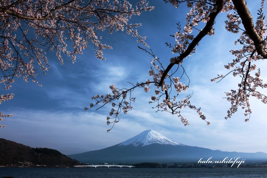 河口湖 桜 2s