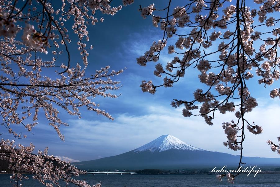 河口湖 桜S_filtered