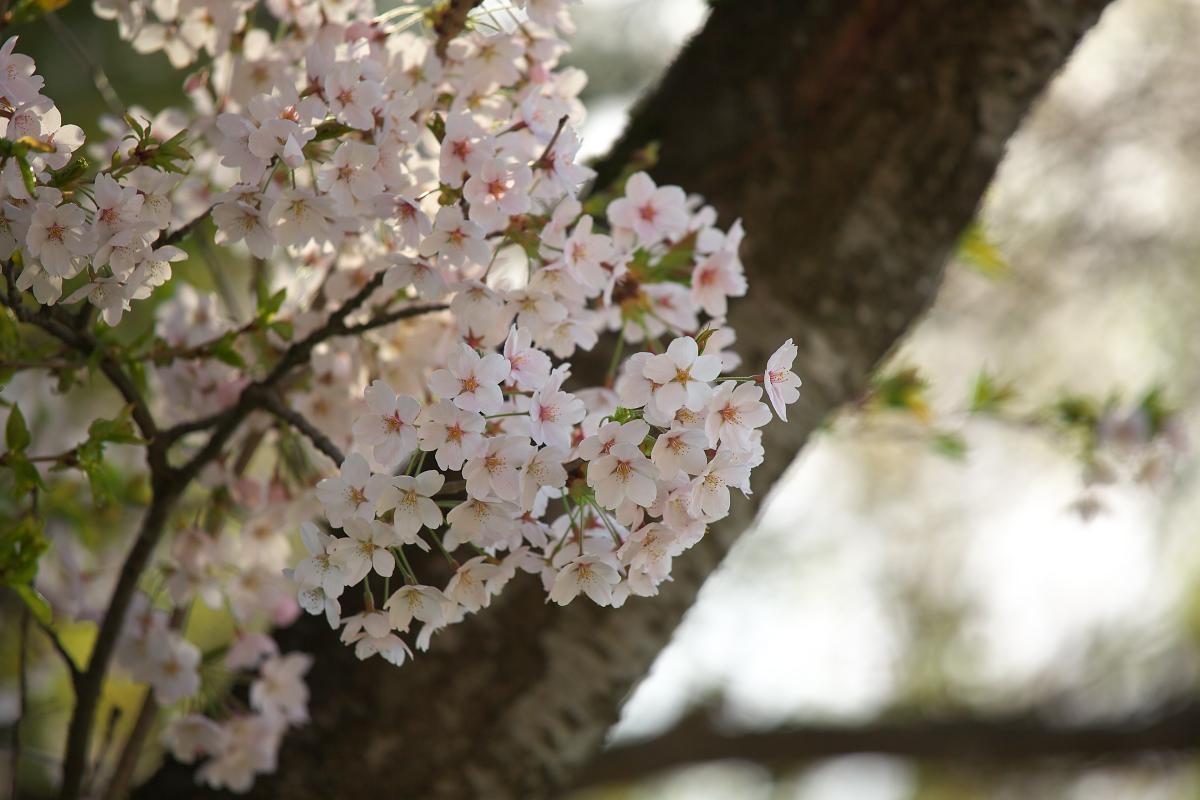 2015桜4251