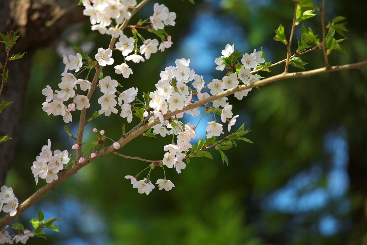 2015桜4253