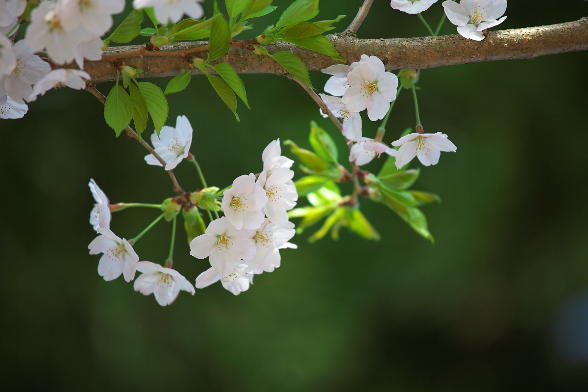 2015桜4254