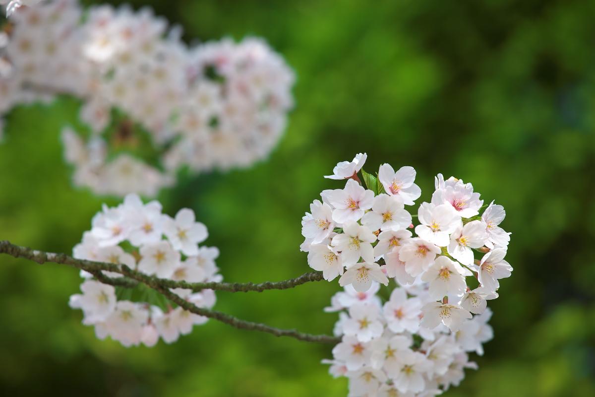 2015桜4255