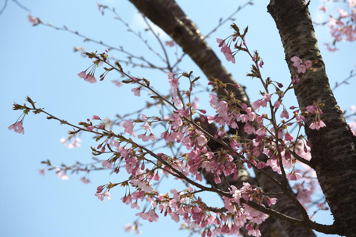 2015桜4258