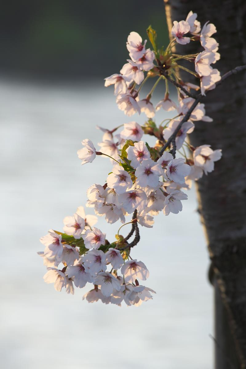 2015桜42510