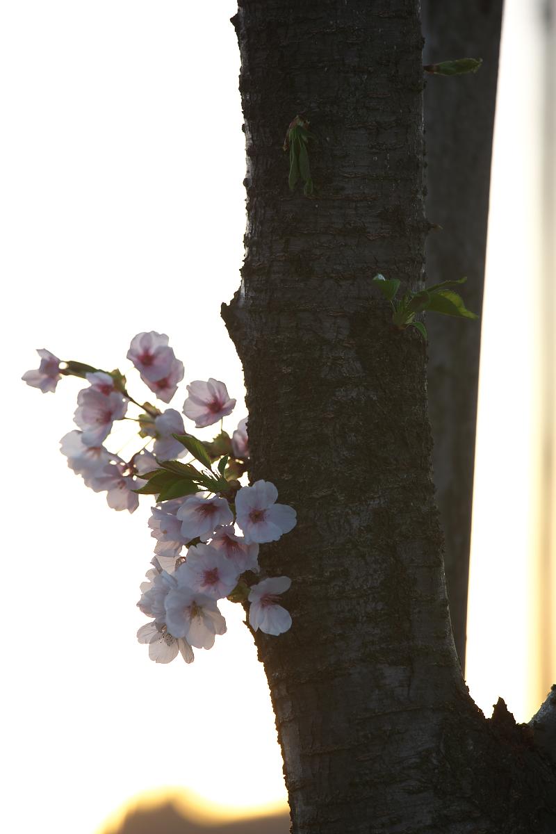 2015桜42513