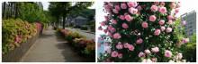 実家近くの並木通りと公園のバラ