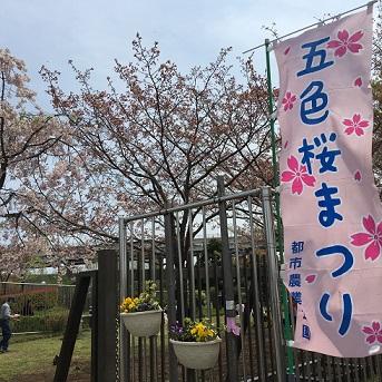 五色桜まつり