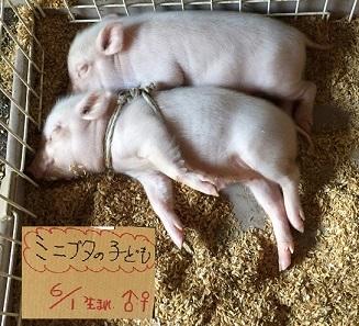 子豚ちゃん