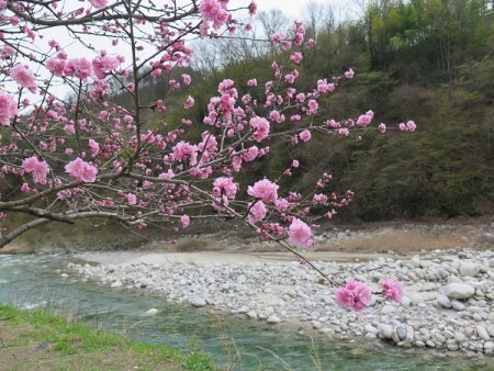 昼神温泉郷 花桃まつり