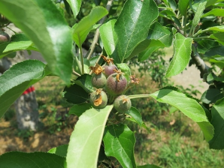 フルーツパーク りんご