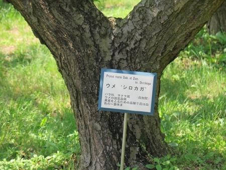 フルーツパーク 梅(白加賀)