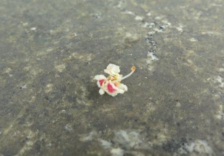 笠間県立自然公園 栃の花