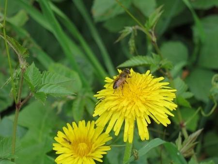 笠間県立自然公園 たんぽぽとミツバチ