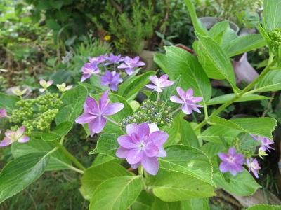 2015紫陽花