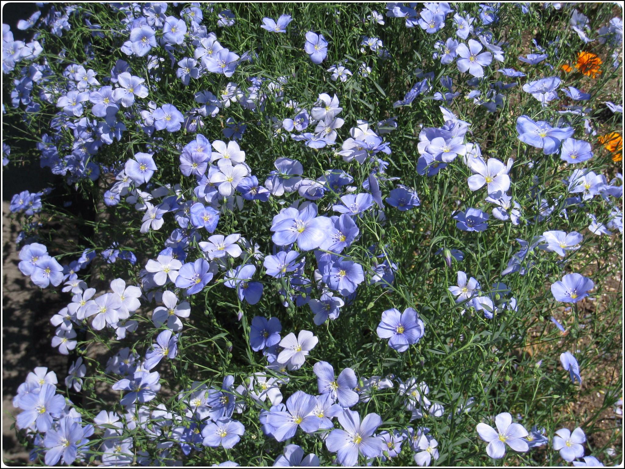 ama_flower_601.jpg