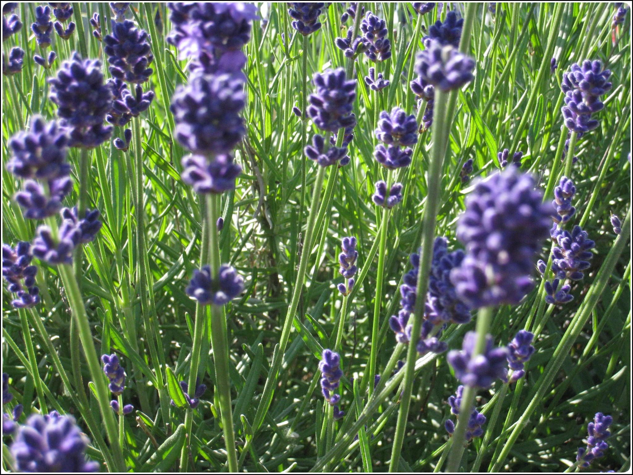 lavender_1_618.jpg