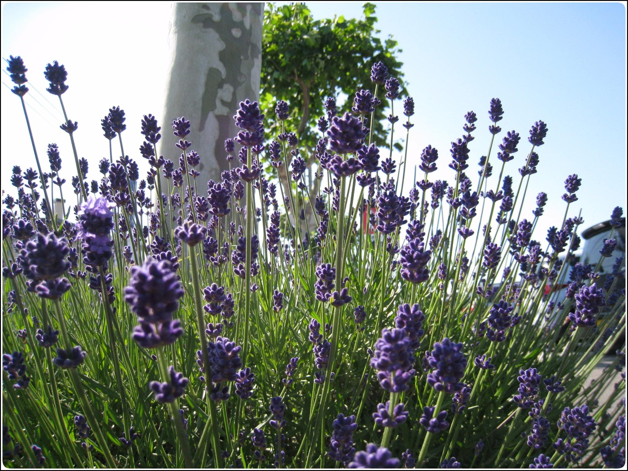 lavender_2_618.jpg