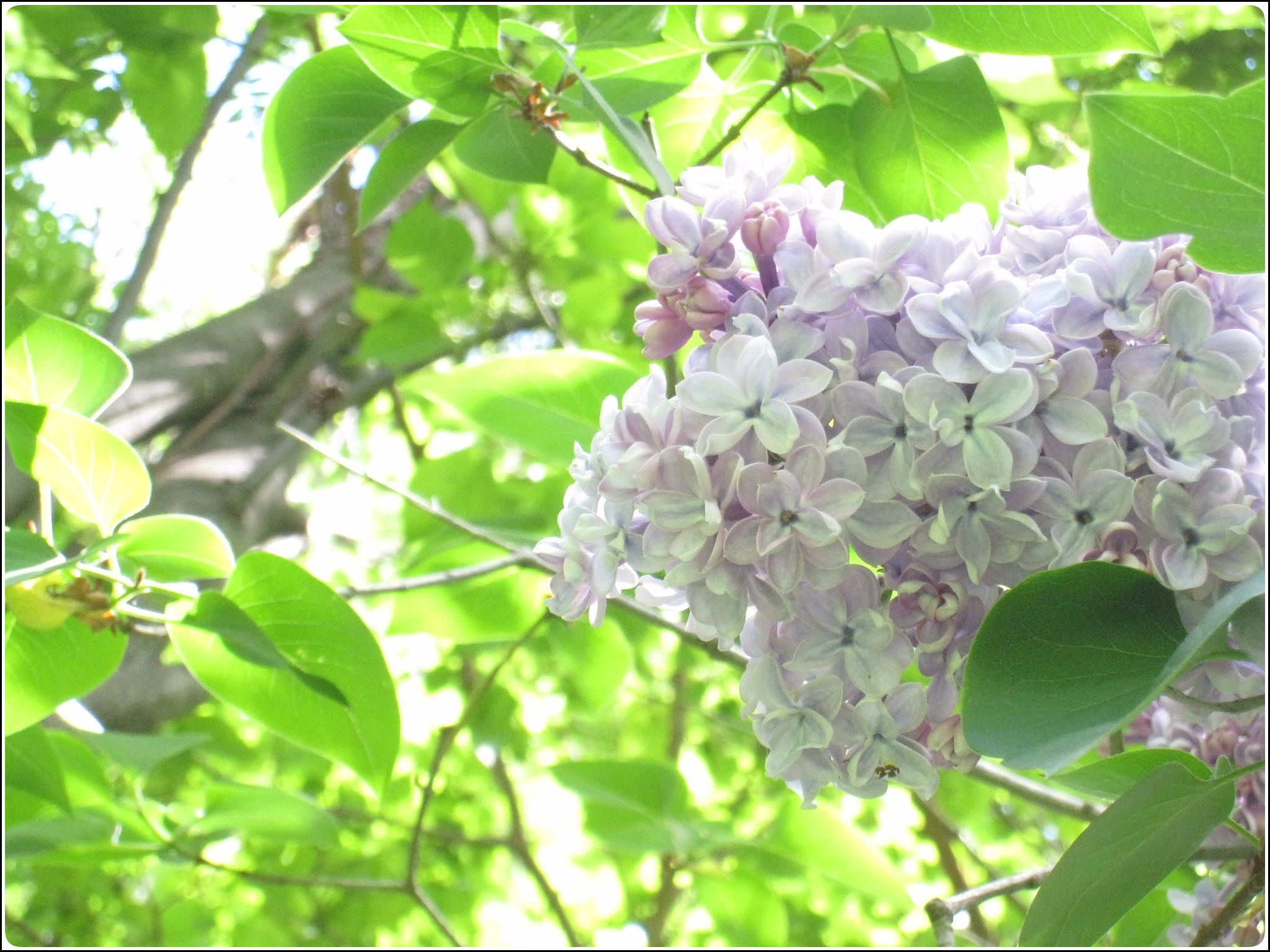 lilac_2_525.jpg