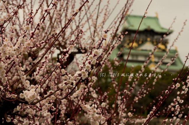 2015年3月8日撮影 大阪・大阪城梅林の梅3