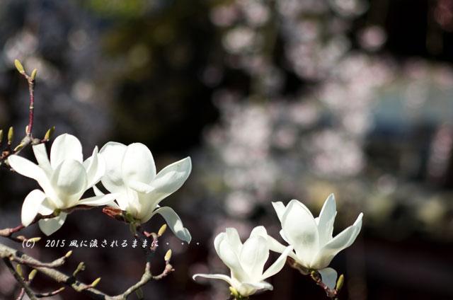 奈良・氷室神社 枝垂れ桜9