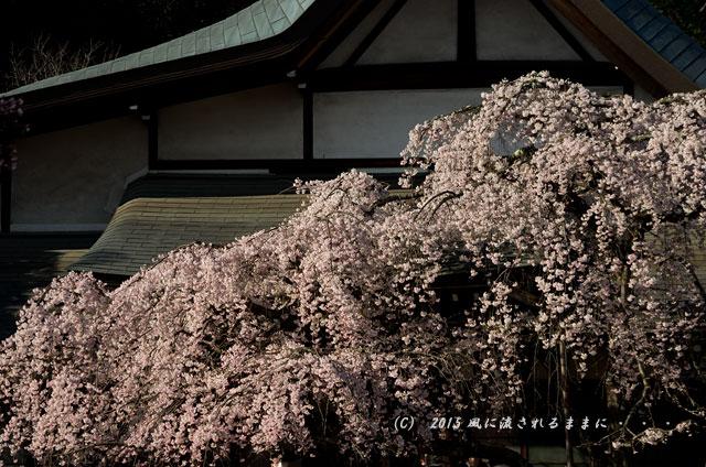 奈良・氷室神社 枝垂れ桜11