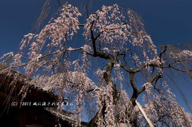 奈良・氷室神社 枝垂れ桜3