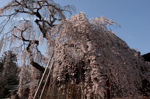 奈良・氷室神社 枝垂れ桜4