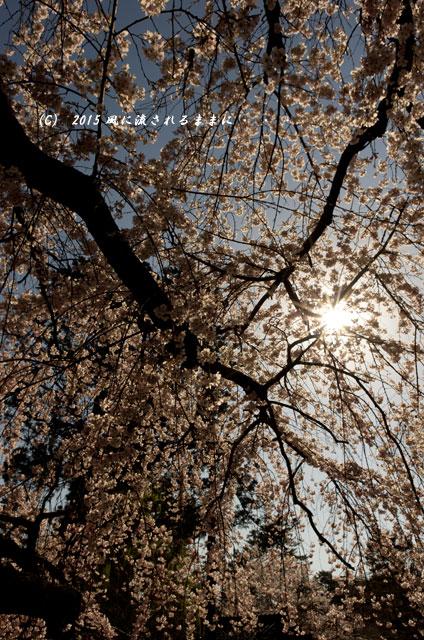 奈良・氷室神社 枝垂れ桜5