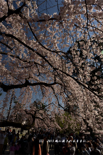 奈良・氷室神社 枝垂れ桜6