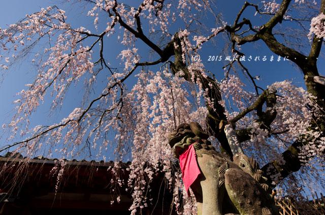 奈良・氷室神社 枝垂れ桜7